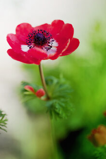 Close-up of red anemone flower in bloom - LSF000064