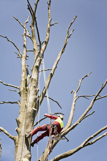 Worker secured with ropes pruning a tree - MEMF000883