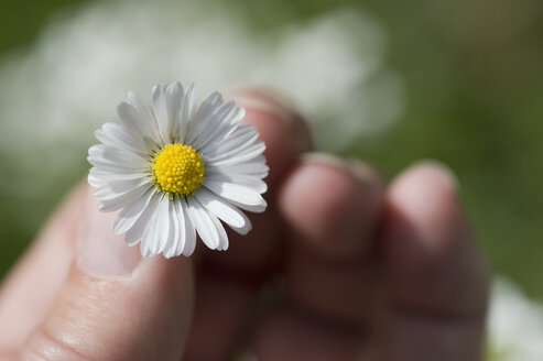 Woman's hand holding daisy - CRF002706