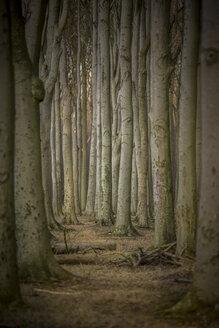 Germany, Nienhagen, tree trunks at Gespensterwald - ASC000241