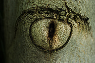 Tree eye of European walnut, close-up - TCF004759