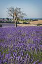 France, Alpes-de-Haute-Provence, Lavender field near Valensole - KEBF000209