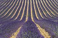 France, Alpes-de-Haute-Provence, Lavender field near Valensole - KEBF000218