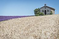 France, Alpes-de-Haute-Provence, Entrevennes, Chapel Notre-Dame-de-la-Sante, corn and lavender field - KEBF000219