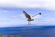 Ireland, flying seagull - KLR000066