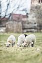 Three grazing lambs - ASCF000248