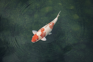 Japan, Koi carp in a pond - FLF001194