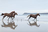 Brown horses running on a beach - ZEF006416