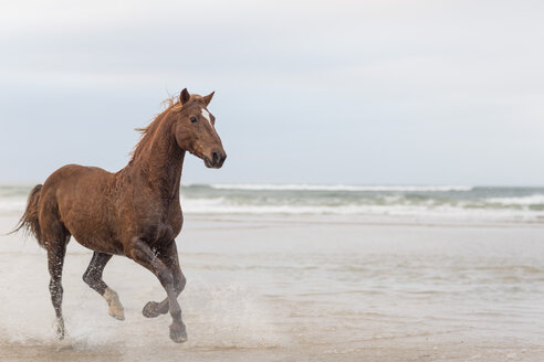 Brown horse running on a beach - ZEF006418