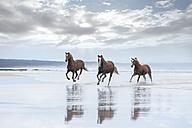 Brown horses running on a beach - ZEF006419