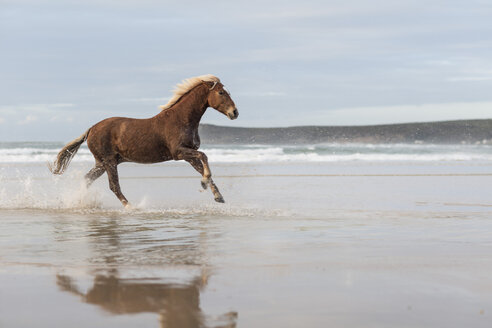 Brown horse running on a beach - ZEF006424