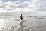 Brown horse running on a beach - ZEF006428