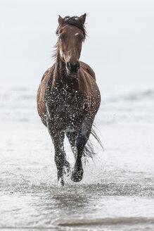 Brown horse running on a beach - ZEF006436