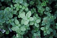 Oregano, Origanum vulgare, in garden - CZF000215