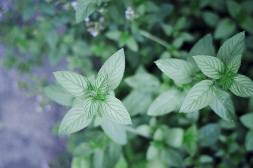 Peppermint, Mentha piperita, in garden, close-up - CZF000217