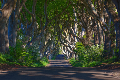 Northern Ireland, near Ballymoney, alley and trees, known as Dark Hedges - KLRF000082