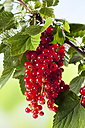 Red currants - CSF026083
