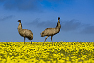 Australia, Port Lincoln, two emus standing in canola field - TOVF000023