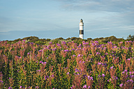 Germany, Sylt, Kampen, view to light house 'Rotes Kliff' with heath in the foreground - KEBF000229