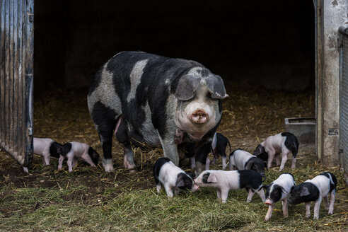 Germany, Bavaria, Otterfing, Domstic pigs, old breeds at Archehof Schlickenrieder - TCF004825
