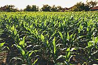 Corn field - BZF000197
