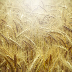 Barley field, Hordeum vulgare, close up - DWIF000565