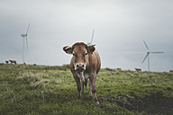 Spain, Ortigueira, portrait of cow on pasture with wind turbines in the background - RAEF000340