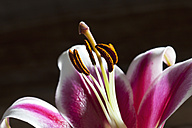 Blossom of pink white lily, Lilium, close up - CSF026256
