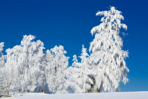 Germany, Bavaria, trees in winter - MAEF010975