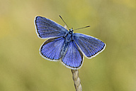 Common blue butterfly on a spike - MJO001065