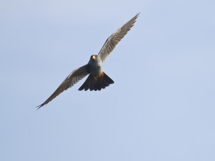 Male red-footed falcon, Falco vespertinus, flying - ZC000250