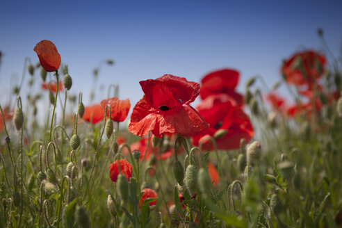 Poppies on a field - MPAF000041