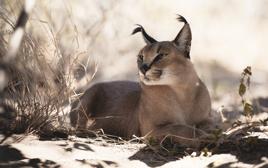 Botswana, Maun, caracal relaxing in the shadow - MPAF000037