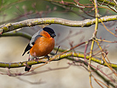 Germany, male Eurasian bullfinch - ZCF000254