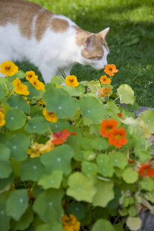 Cat smelling blossoms of nasturtium in the garden - GISF000155