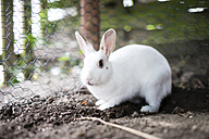 White rabbit, wire fence - CHPF000160