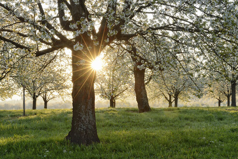 Germany, Black Forest, blossoming cherry trees with sunrays near sunrise at backlight - RUEF001628