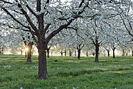 Germany, Black Forest, blossoming cherry trees with sunrays near sunrise at backlight - RUEF001629