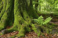 Germany, Reinhardswald, fern on a tree trunk of an old beech tree - RUEF001637