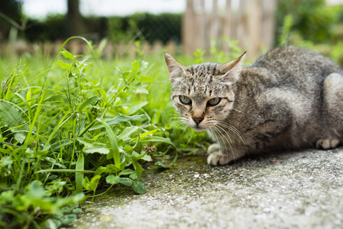 Portrait of tabby cat crouching beside a meadow - RAEF000416