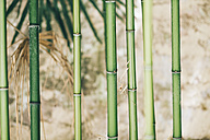 Bamboo, close up - BZF000233