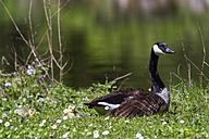 Canada goose, Branta canadensis - ZCF000268
