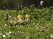 Canada goose, Branta canadensis, goslings - ZCF000267