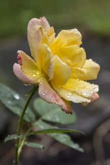 Garden rose after rain - MELF000071