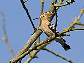 Hoopoe perching on twig - ZCF000289