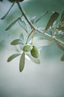 Green olive on tree - CZF000222