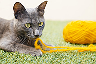 Russian blue sitting playing with yellow wool - GEMF000350