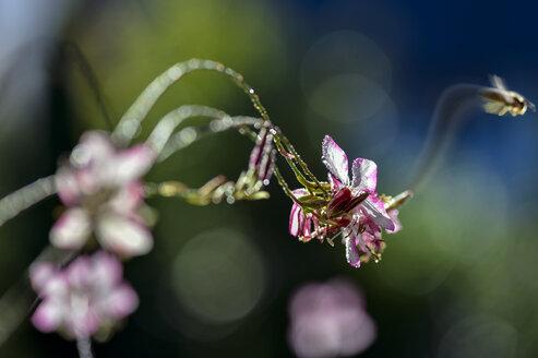 Wasp leaving Lindheimer's Beeblossom - FRF000330
