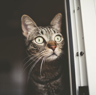 Portrait of tabby cat peeking - RAEF000449