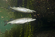 Germany, Bavaria, Northern Pike in a lake reflected at water surface - ZC000294